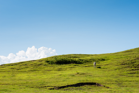 Cow on a verdant hill.