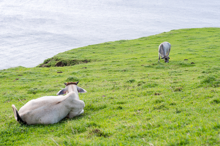 Cows on the grass field of Batanes, Philippines.