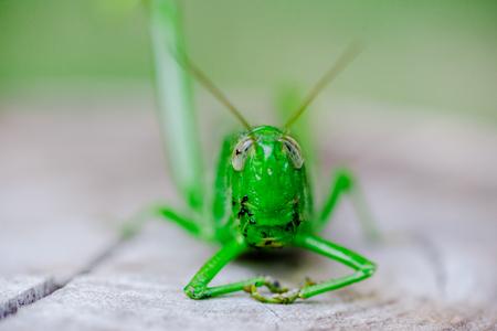 Green grasshopper in the garden