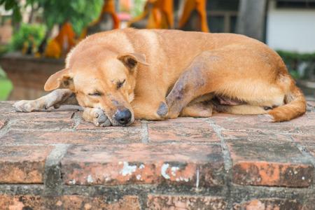 lepra: perro lepra durmiendo en la pared del templo