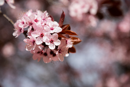 Cherry blossom flowers close up with blurred background and copy space