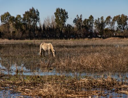 View of a white horse grazing in a dry farming field with puddles and trees in the background Stock Photo