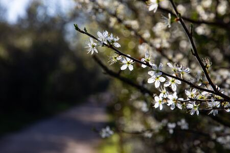 Close up of branches with white flowers and a walking path blurred in the background Stockfoto