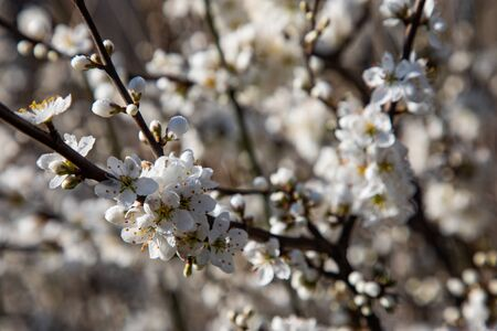 Close up of cherry blossom branches covered with lots of white flowers