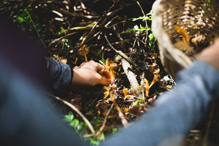 Woman picking yellow foot mushroom with basket