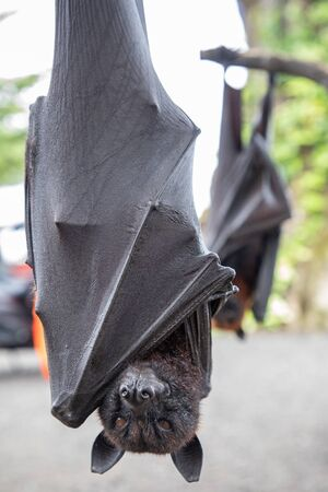 Close up of two Giant bats hanging upside down in Bali, Indonesia