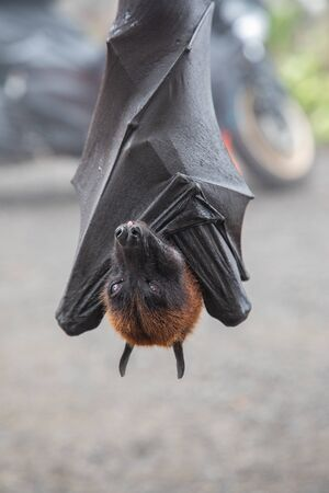 Close up of a Giant bat hanging upside down in Bali, Indonesia 免版税图像
