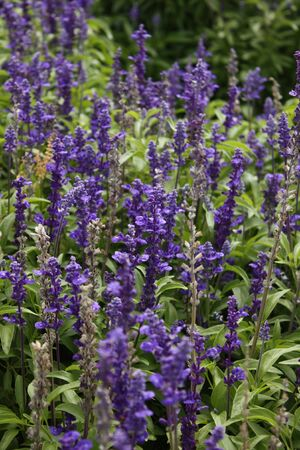 Lavender flowers blurred Stock Photo
