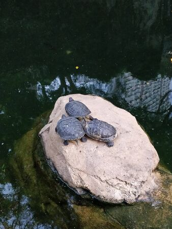 Three water turtles on a rock in a pond