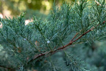 Pine branch macro shot
