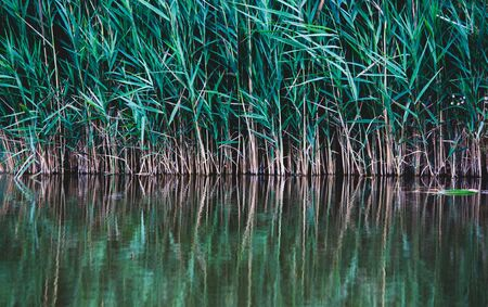 Bulrush plant on river with reflection