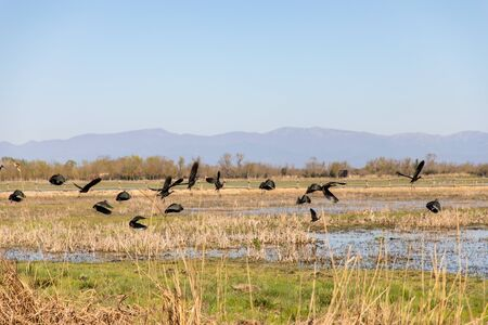 Black birds flying over swampy field with clear sky and copy space Imagens