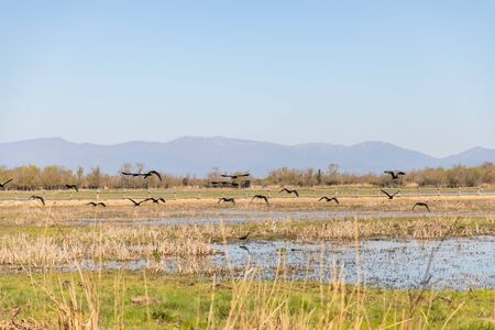 Black birds flying over swampy field with clear sky and copy space Standard-Bild