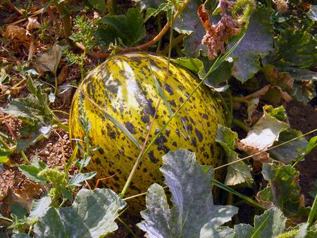 melons: maturing melons photos