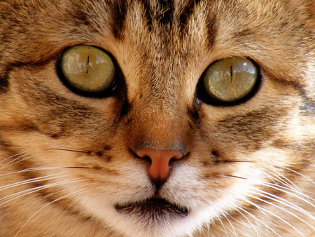 pete: Cat pictures, cat eyes, pictures of the most beautiful cat eyes, cute cat innocent cat pictures, pictures of close-up cat, brown cat, van cat, eyes different cat, white cat Stock Photo