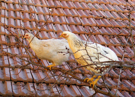 Chickens care to be Bird