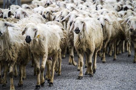 returning: Sheep returning home