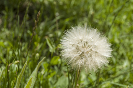 The most wonderful looking Devil Hair (Dandelion) Pictures of plants,