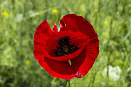 rejection: The most beautiful poppy flowers growing in natural environment in spring season