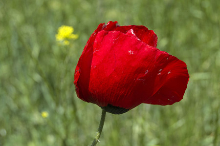 The most beautiful poppy flowers growing in natural environment in spring season