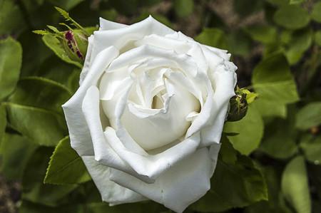 장미, 사랑의 날 장미, 웹 디자인에 적합한 가장 멋진 자연 장미, 기호 장미 사랑 장미, 새로운 디자인, 핑크 장미, 흰 장미, 노랑 장미 사진을위한 빨간 장미 스톡 콘텐츠 - 85936710