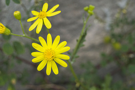 rejection: yellow Daisy flowers, pictures of daisy flowers for lovers day, the most wonderful natural daisies for web design