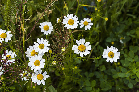 rejection: Daisy flowers, pictures of daisy flowers for lovers day, the most wonderful natural daisies for web design Stock Photo