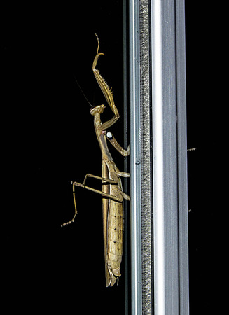 pictures of locusts, pictures of locusts climbing at night