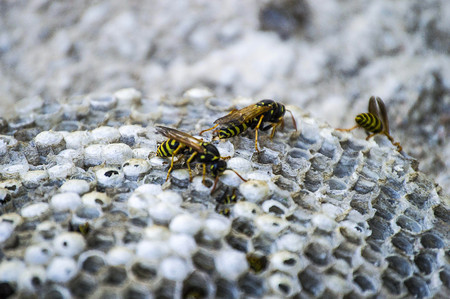 donkey bee, wild bees, nest of donkey bees, dangerous poisonous bees, wild donkey bees in honeycomb Stock Photo