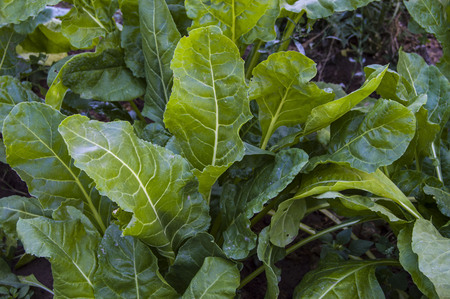 pictures of natural chard vegetable, organic chard vegetable Stock Photo