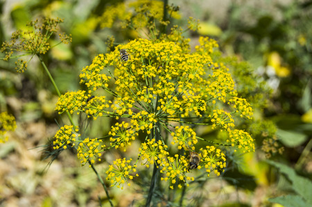 the dill plant from the time of seed collection,