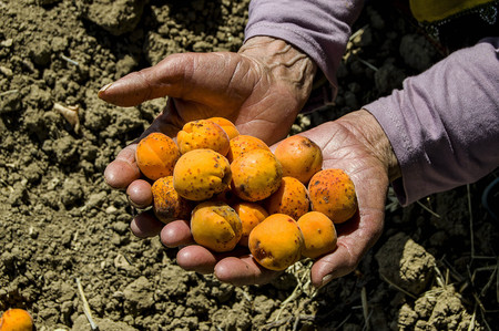 Apricot tree and poured apricots, collecting natural and organic apricots,