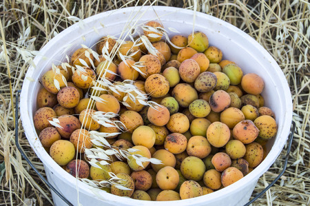 Pictures of ripe apricots in a bucket