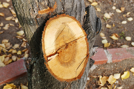 pruned trees with a chainsaw cut wood close-up