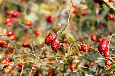 ripe rosehip berries