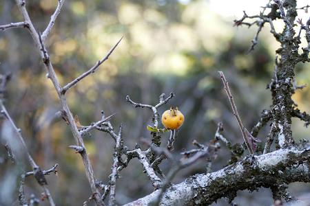last hawthorn fruit on tree