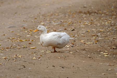 domestic village ducks, white village duck,
