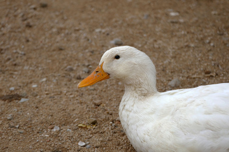 domestic village ducks, white village duck, close-up, duck head pictures, Banco de Imagens