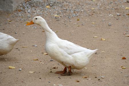 domestic village ducks, white village duck, close-up, duck head pictures, 写真素材