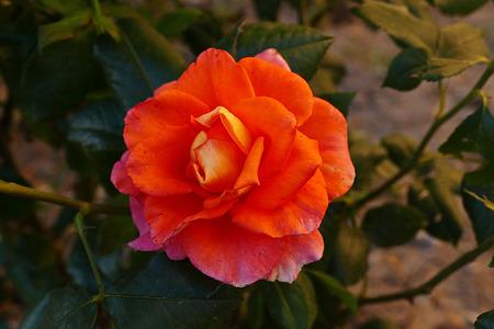 one red rose Banco de Imagens