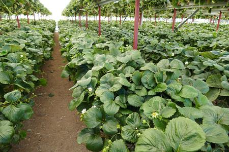 organic natural strawberry orchard Banco de Imagens