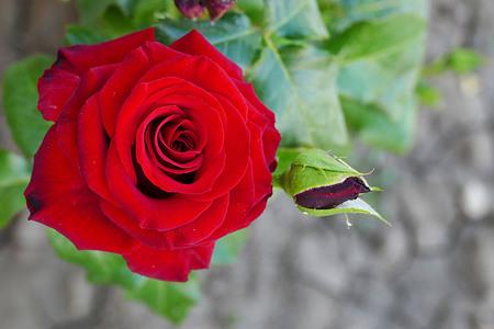 a natural red rose in the garden Banco de Imagens