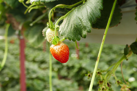 raw strawberry fruit, bloomed strawberry plant.