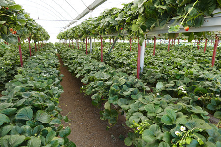 strawberry garden, greenhouse style strawberry garden Banco de Imagens - 115980815