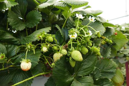 unripe raw strawberries in strawberry garden 写真素材