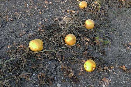 hundreds of pumpkins in the field, pumpkin field,