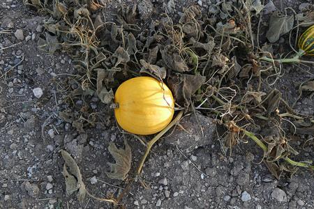 organic pumpkin in the field 写真素材