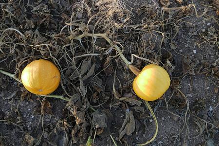 two ripe pumkins