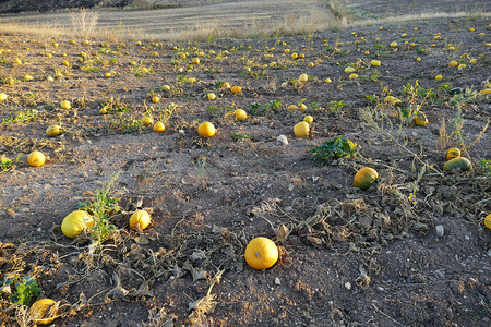 cultivated agricultural area, close to harvest pumpkins