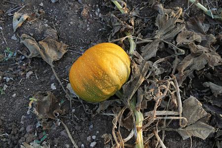 a field of pumpkins Banco de Imagens - 115853953